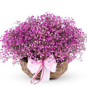 프리저브드 핑크안개 (대전만 가능)