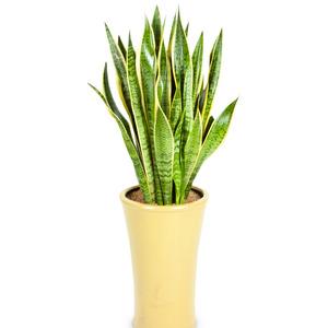 공기정화식물 산세베리아